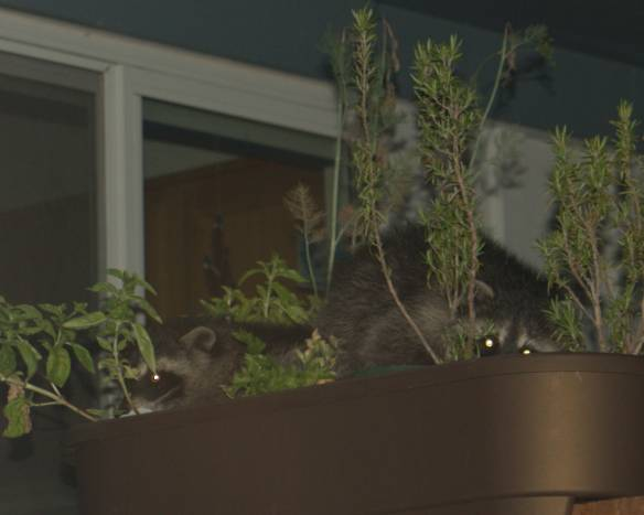 Raccoons in planter 1