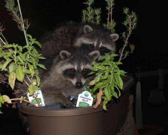 Raccoons in planter 3