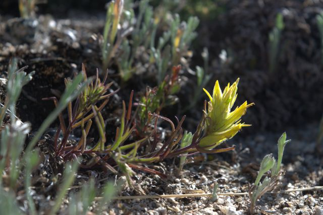 Alpine Indian Paintbrush maybe