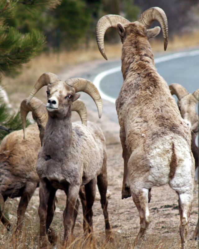 Bighorn rams-28_edited-1a