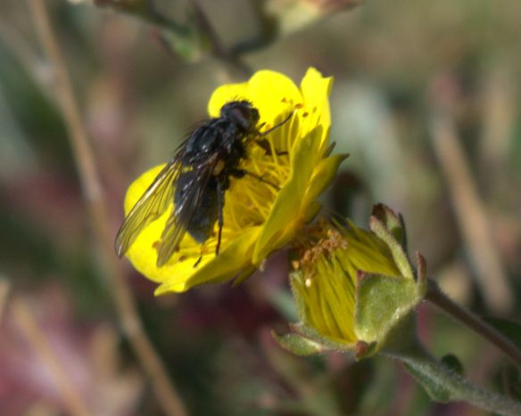 fly on alpine avens