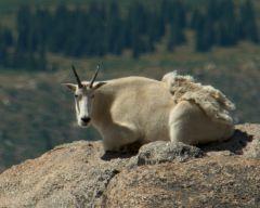 Mountain goat (2)