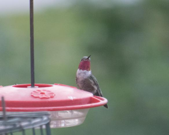 male broad-tailed hummer-8