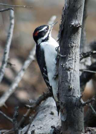 male-hairy-woodpecker