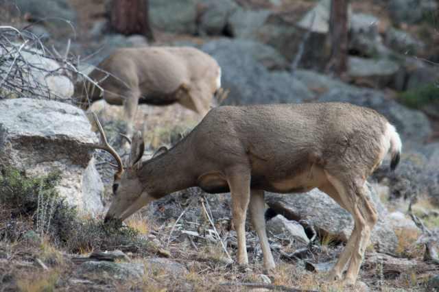 mule-deer-ypsilon-trail-08