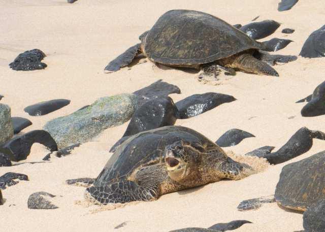 green sea turtle (1)