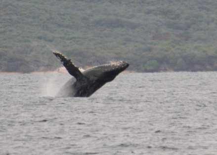 Whale Breach 8x10-2