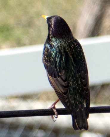 spectacular starling-1_edited-1