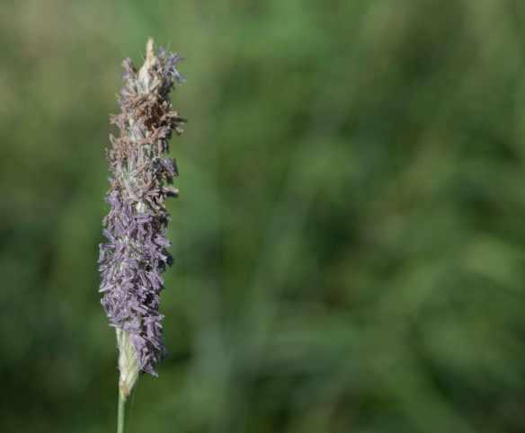 Purple reedgrass