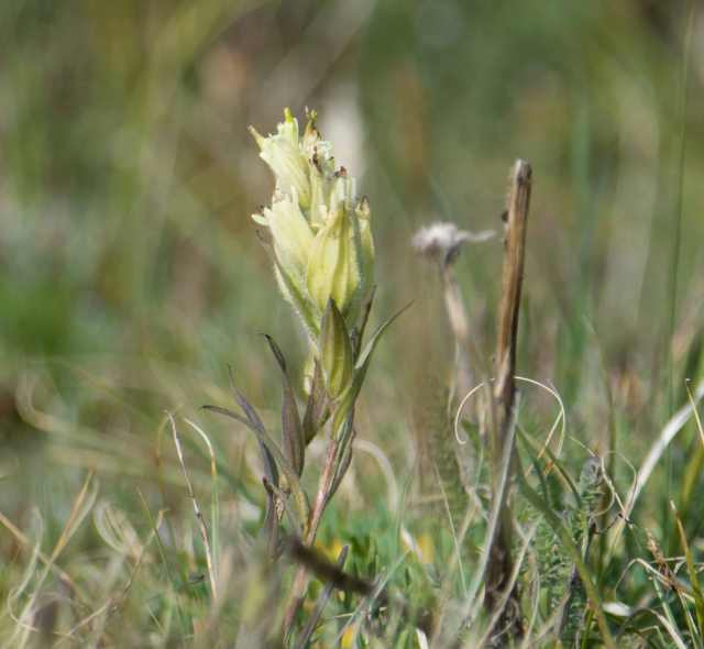 Alpine paintbrush