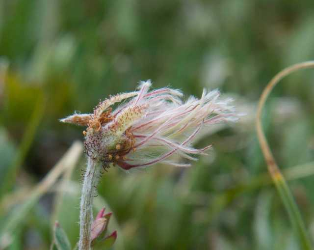 mountain dryad going to seed