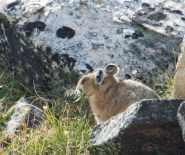 Loveland Pass Pika-4