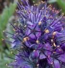 purple fringe, gravelly hillsides, montane to alpine