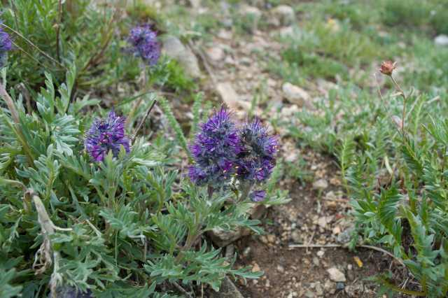 purple fringe, gravelly hillsides, montane to alpine