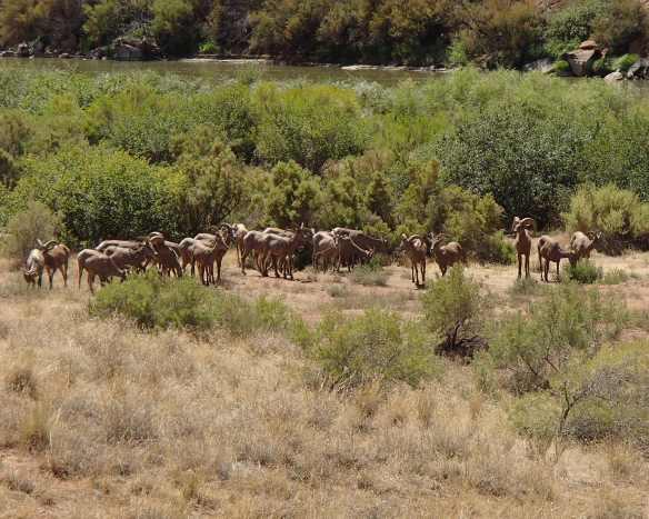 bighorn herd