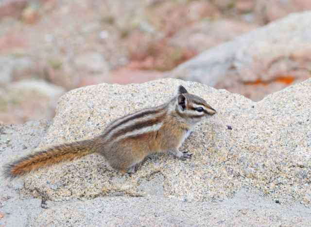 Chipmunk-1_edited-2