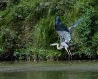 Herons, more than almost any other bird, show me that birds are descended from dinosaurs.