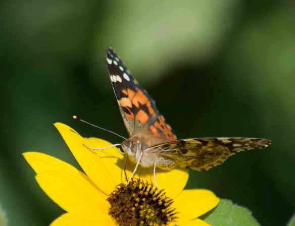Painted Lady hatch-02