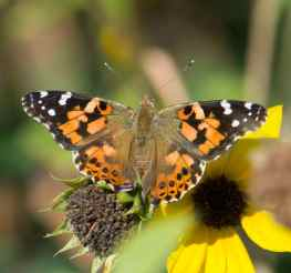 Painted Lady hatch-03