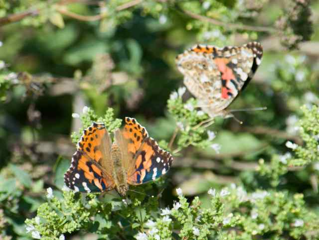 Painted Lady hatch-05