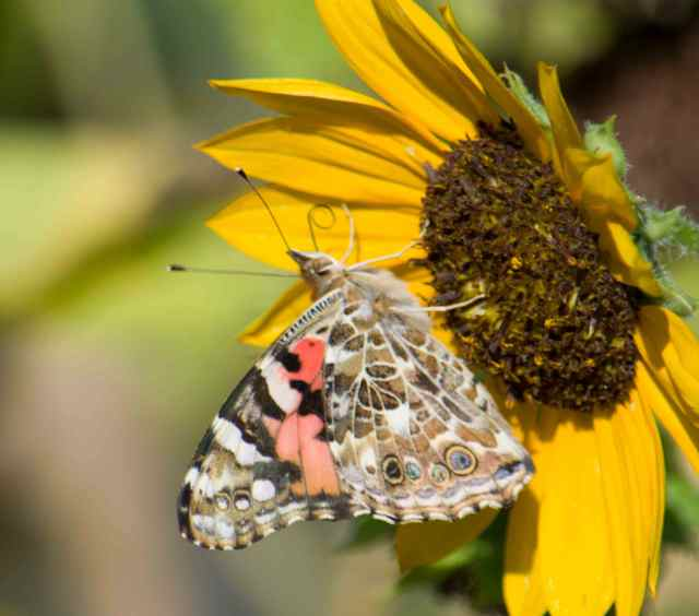 Painted Lady hatch-11