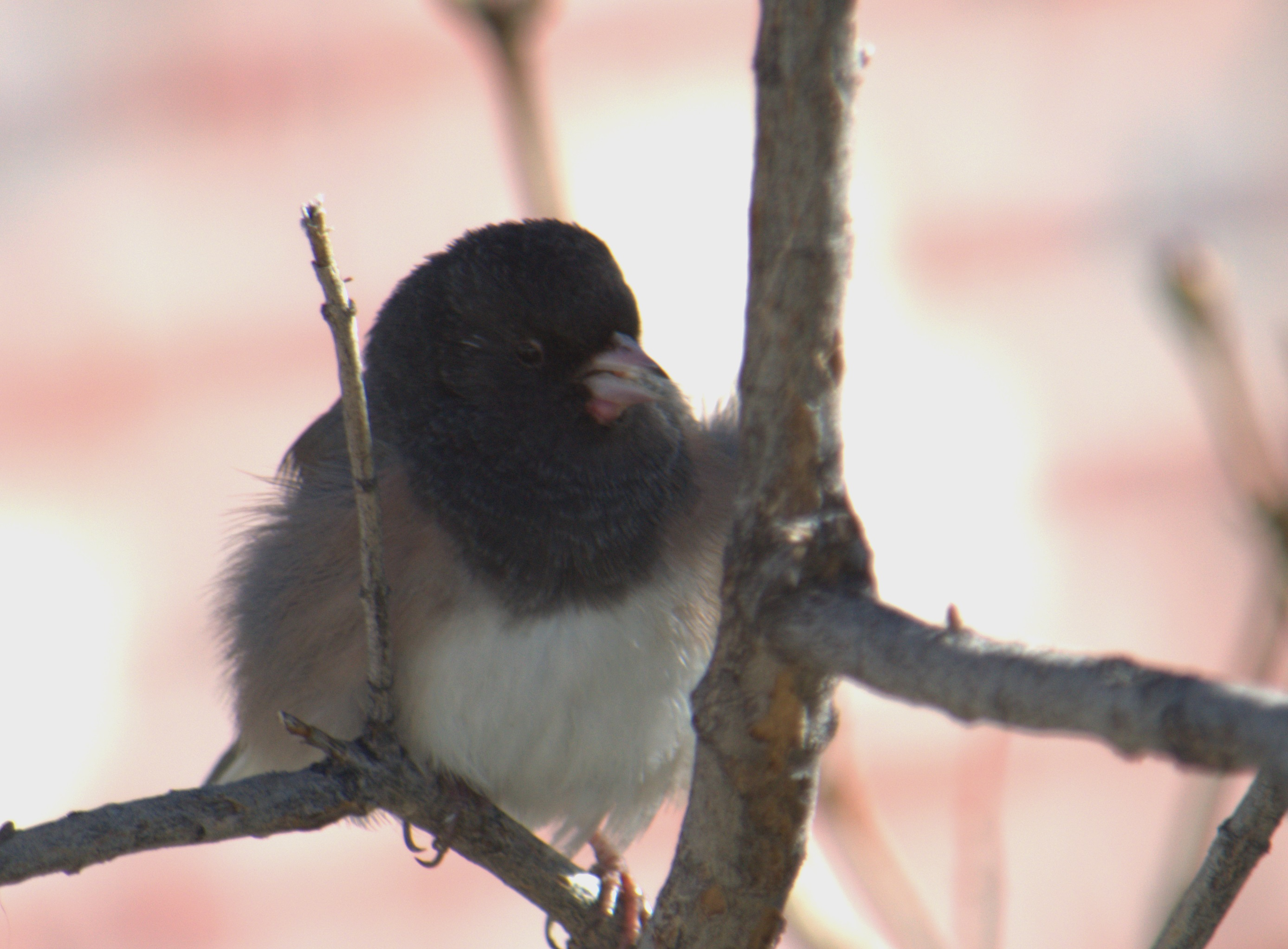 dark-headed junco-7