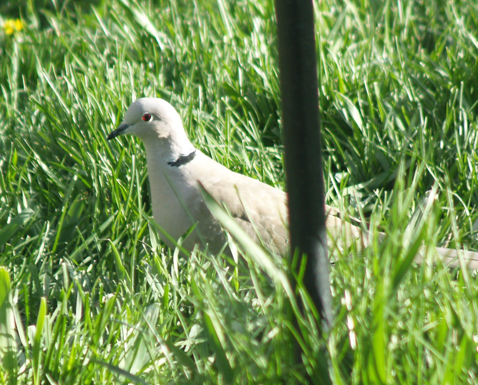 Eurasian Collared Dove-3_edited-1.JPG