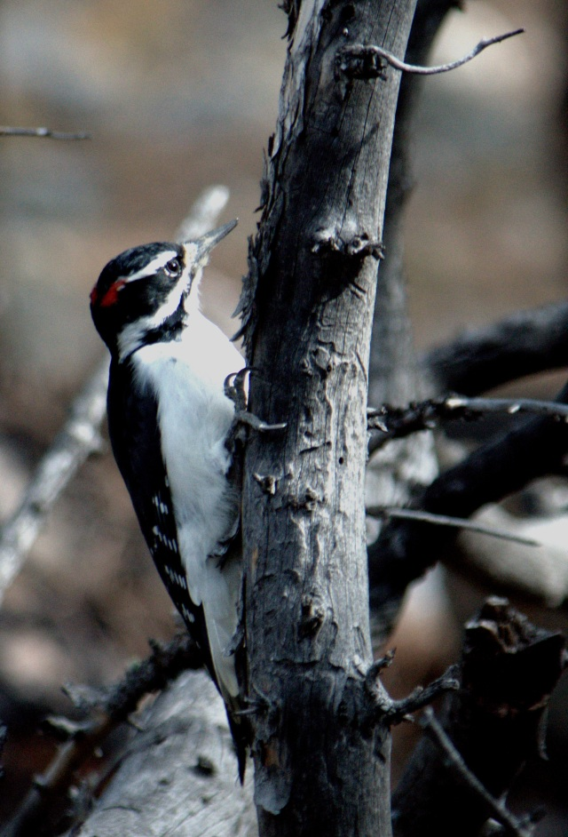 Male Hairy Woodpecker-1