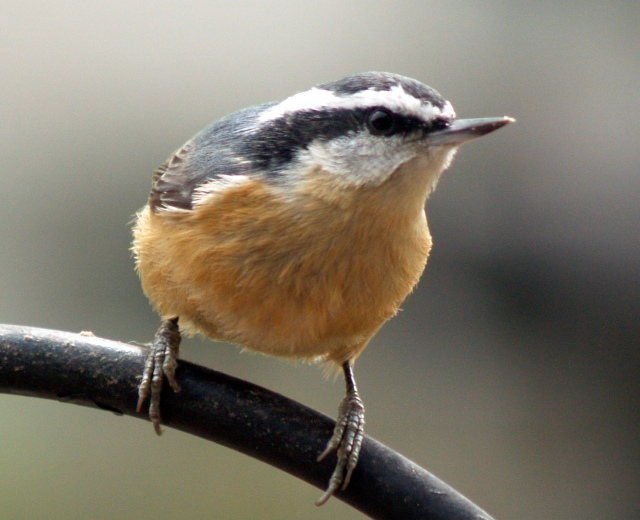 Red breasted nuthatch-2-1-1.JPG