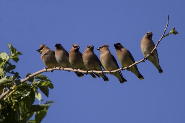 cedar-waxwing-birds-1v71ymb