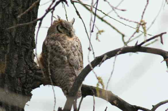 Broomfield CO owl