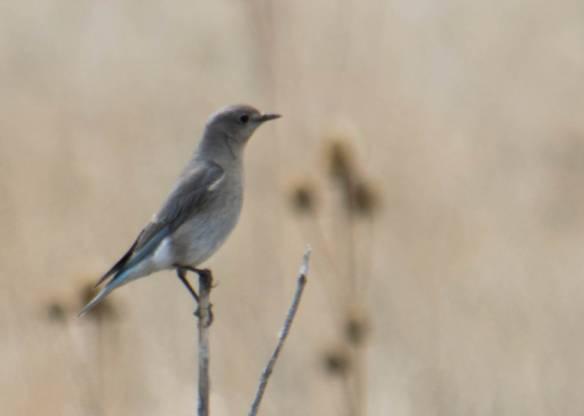 female Mountain Bluebird-3.jpg