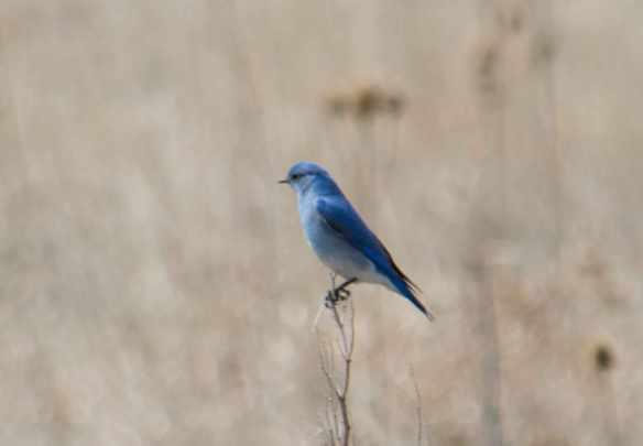 Mountain bluebirds-06