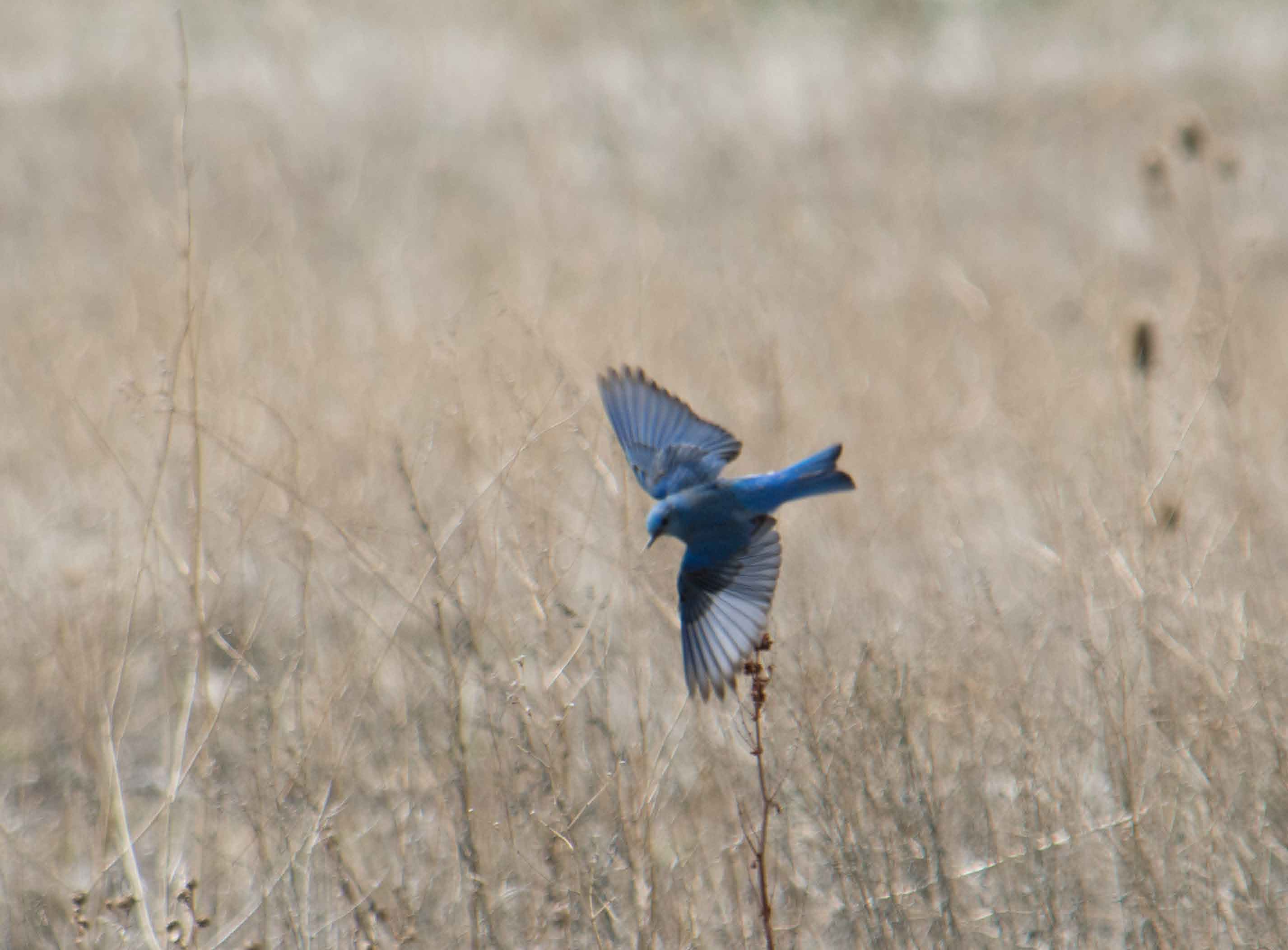 Mountain bluebirds-09