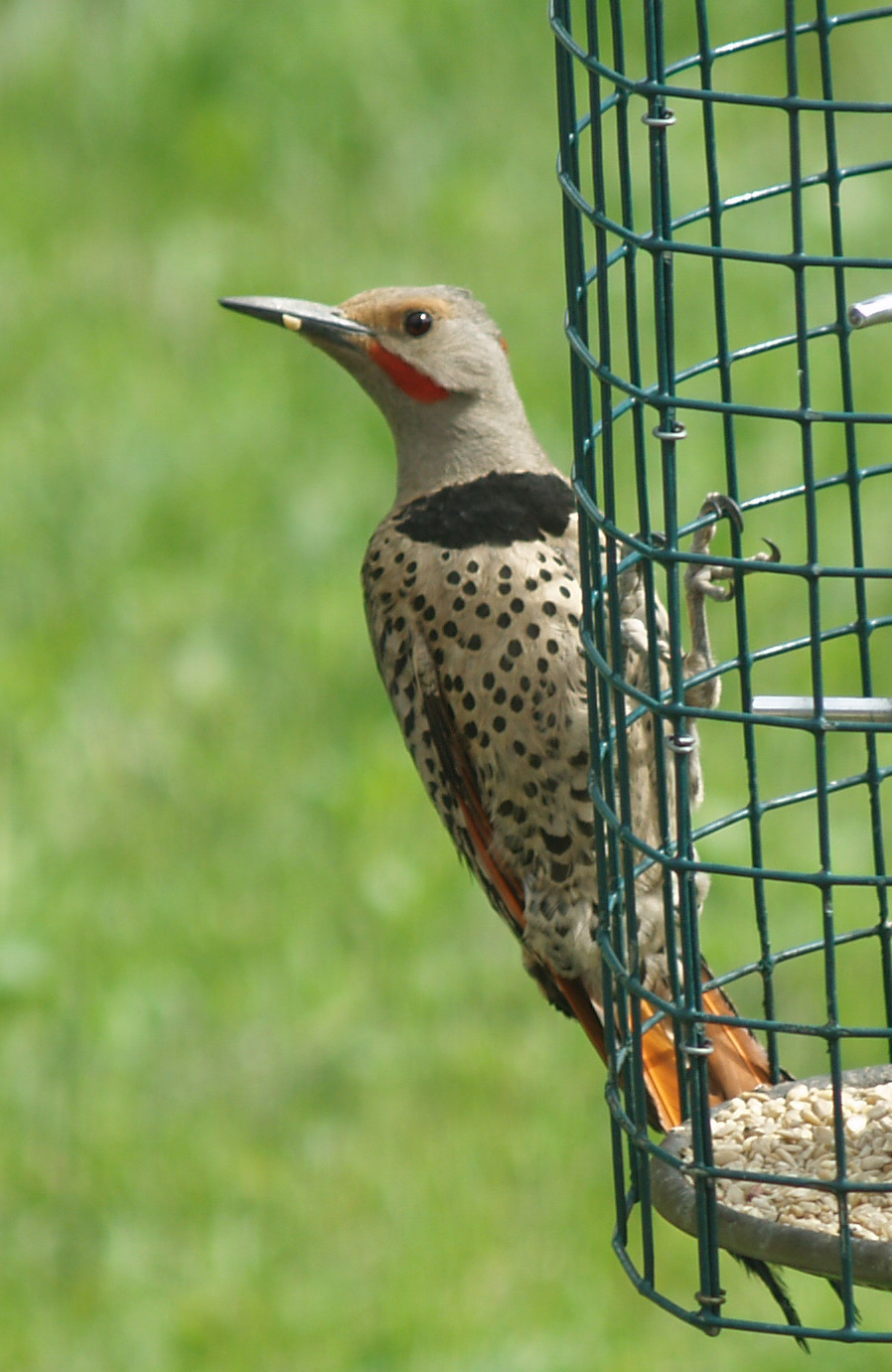 northern flicker-1_edited-1.JPG