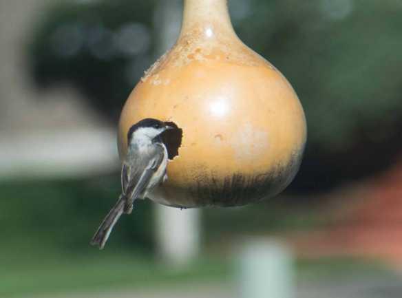 black-capped chickadee-1