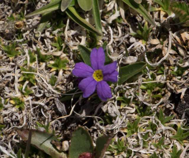 Alpine Primrose-1