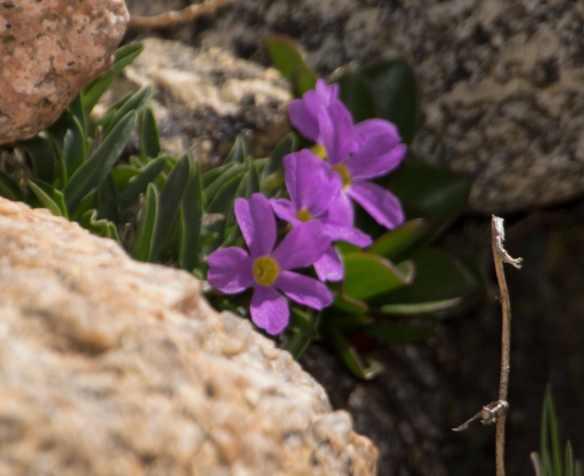 Alpine Primrose-4