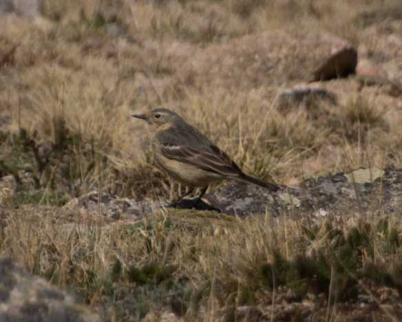 American pipit-5