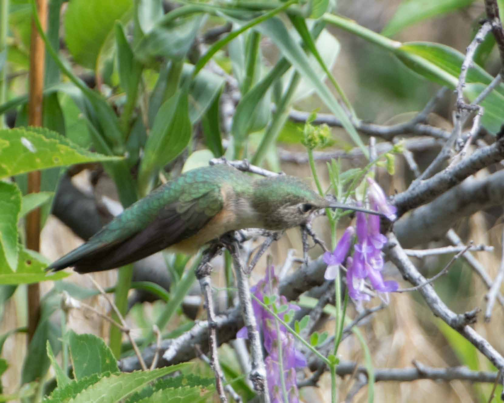 broadtailed hummingbird 1