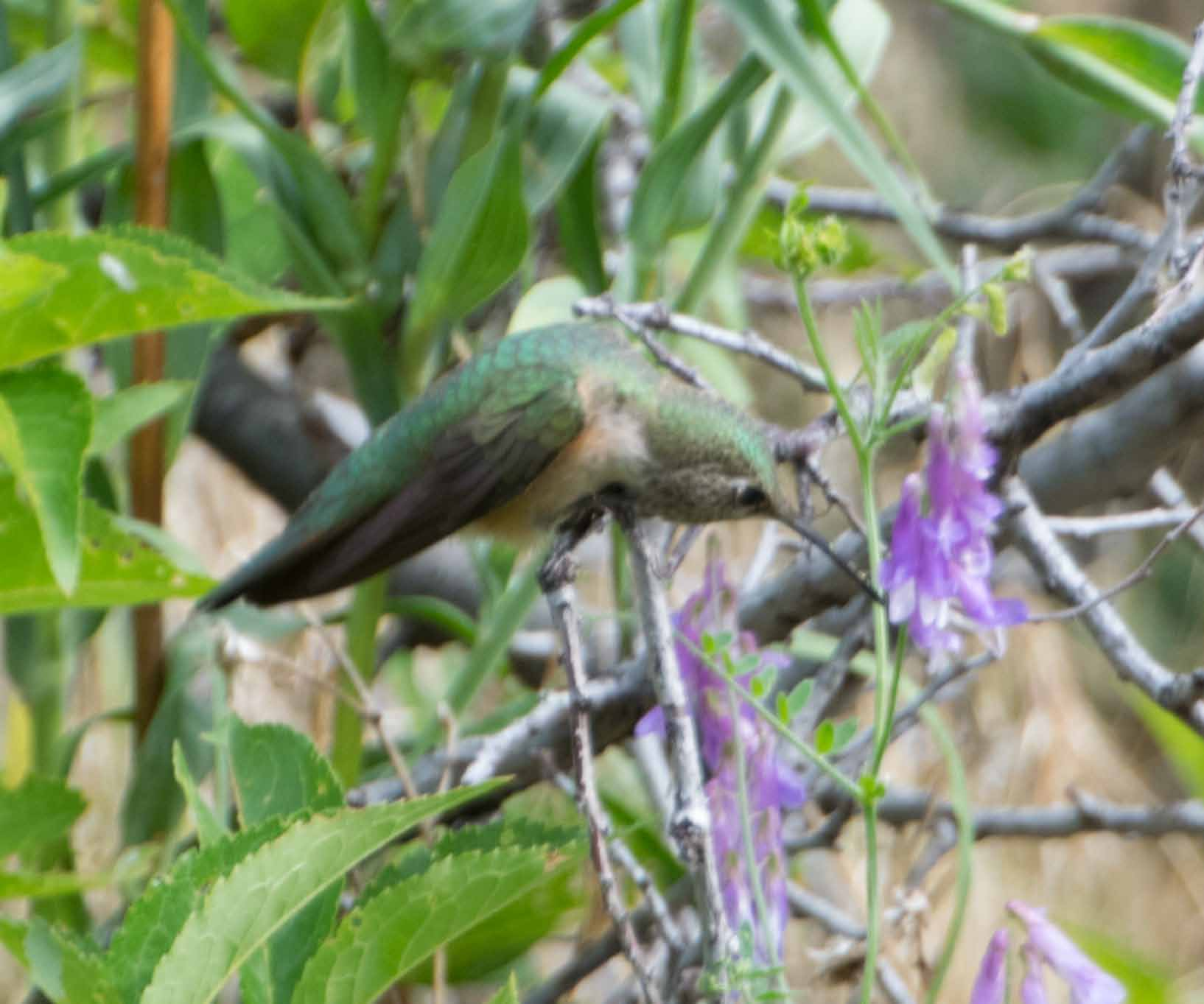 broadtailed hummingbird 3