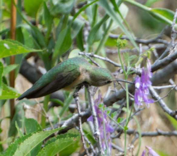broadtailed hummingbird 4