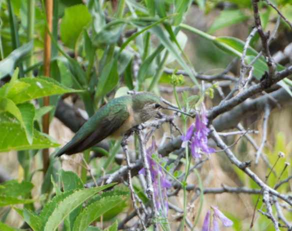 broadtailed hummingbird 5