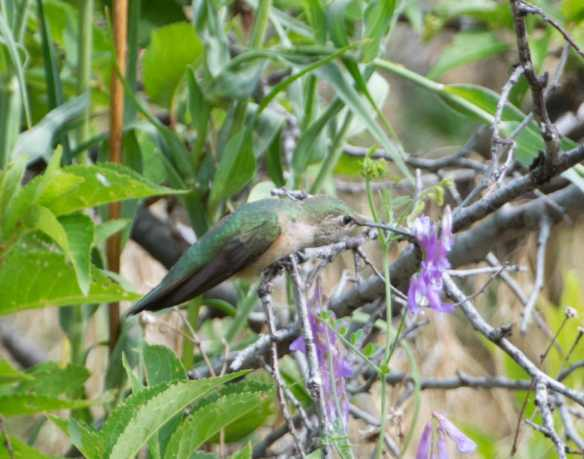 broadtailed hummingbird 6