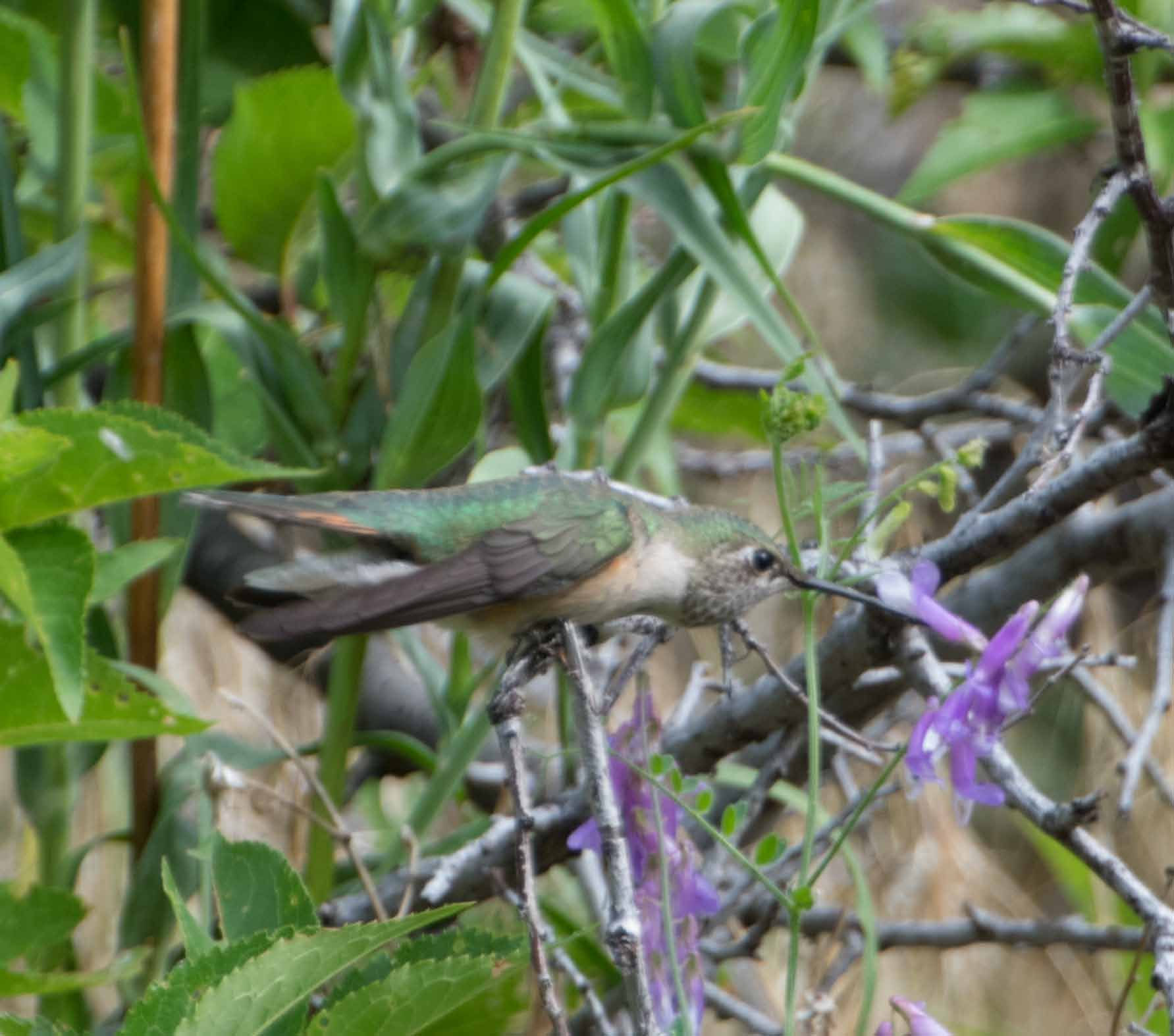 broadtailed hummingbird 7