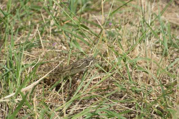 Rattlesnake-1