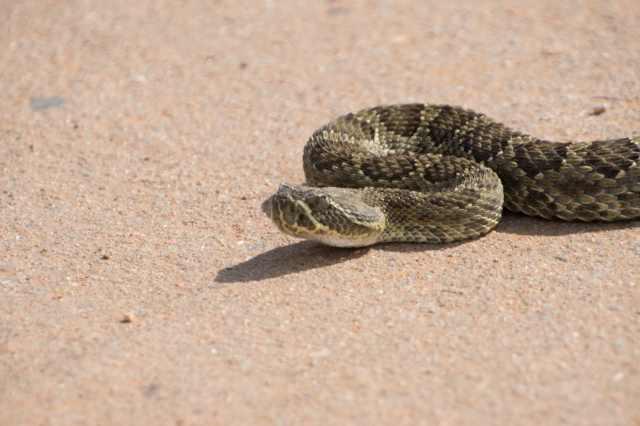 Rattlesnake-3
