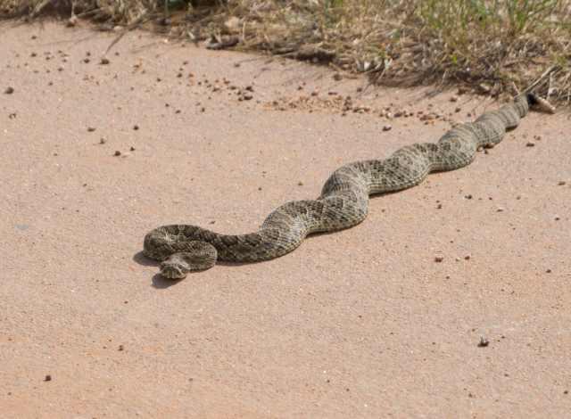Rattlesnake-6