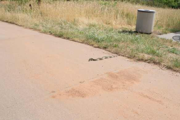 Rattlesnake-7