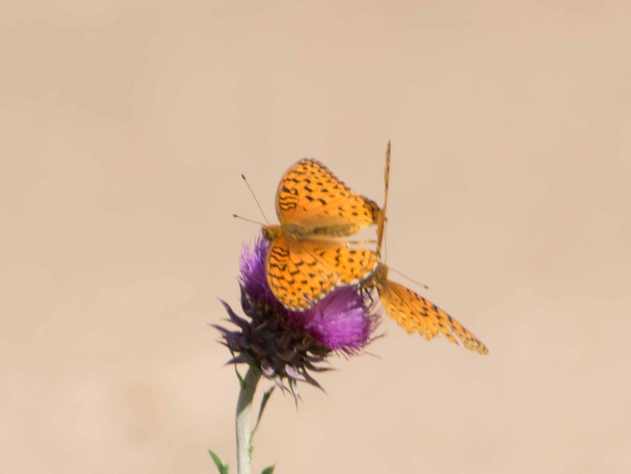 Aphrodite fritillaries mating